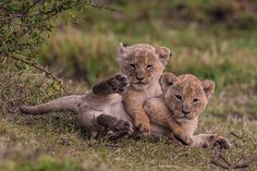 Lion King Animals, Pet Lion, Majestic Animals, Cute Funny Animals, Cute Baby Animals, Animals And Pets, Cute Cats, Beautiful Cats, Animals Beautiful