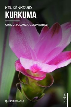 Plantengids voor Kurkuma - Curcuma longa 'Geelwortel'. Inclusief gedetailleerde informatie zoals kweekadvies, verzorging en plant toepassingen. Eco Friendly, Garden, Buildings, Houses, Learning, Turmeric, Homes, Garten, Lawn And Garden