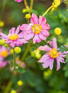 Fall-blooming anemone: A happy addition to the autumn garden, anemones bear cheery poppylike flowers from late summer until frost. More ideas for a 3-season Midwest garden: http://www.midwestliving.com/garden/featured-gardens/garden-tour-three-part-harmony/?page=23