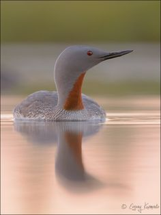 emuwren:  Red-throated Diver/Loon - Gavia stellata, is a migratory aquatic bird found in the Northern Hemisphere. It breeds primarily in Arc...