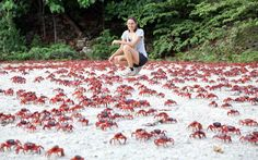 Millions of red crabs have begun their annual migration from the rainforest to the coast to breed on Christmas Island in the Indean Ocean.