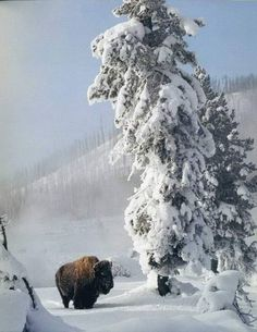 Beautiful Creatures, Animals Beautiful, Buffalo S, Winter Schnee, American Bison, All Gods Creatures, Winter Pictures, Parcs, Nature Animals
