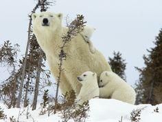 警戒母熊と彼女のカブス 動物 高解像度で壁紙