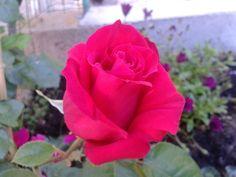 Rosa rossa.