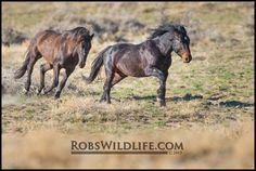 Brown Wild Horse, Horse Photography, Rob's Wildlife, Gifts for Horse Lovers, Horse Wall Art Home Decor by RobsWildlife on Etsy https://www.etsy.com/listing/228815154/brown-wild-horse-horse-photography-robs