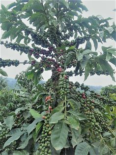 Kanyan Coffee. Where it all begins! Kenyan Coffee, Plant Leaves, Plants, Plant, Planets