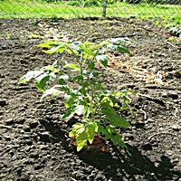 Homemade Tomato Fertilizer - How To Make Homemade Tomato Fertilizer | Veggie Gardener