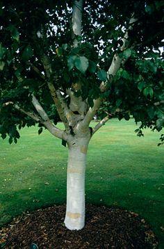 RHS Plant Selector Betula utilis var. jacquemontii 'Silver Shadow' AGM / RHS Gardening