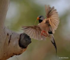 Gallery of Long-tailed Finch (Poephila acuticauda) | the Internet Bird Collection (IBC) | HBW Alive