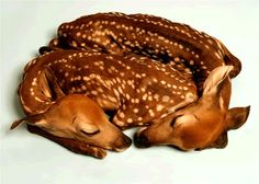 Taxidermy twin fawns....beautiful!