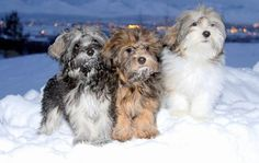 Havanese in the snow by Cache Havanese