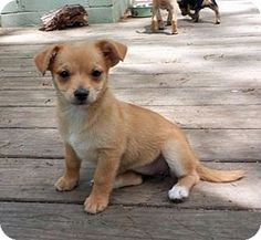 Pocomoke, MD - Pomeranian/Chihuahua Mix. Meet Jill a Puppy for Adoption.