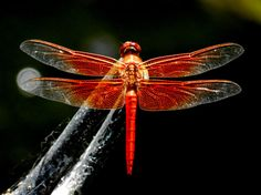 Flame Skimmer by breathofanangel on Etsy