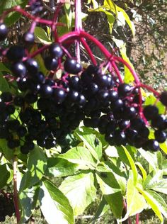 Elderberries are full of health benefits. When I found a nearby elderberry bush I decided it was time to work on making Elderberry Tincture.