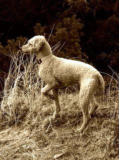 Standard Poodle Breed Information: History, Health ...