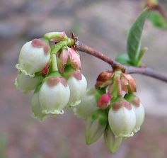 Blueberry blooms...always find room for a couple varieties of blueberries. You'll have pretty blooms in spring, glossy no-care foliage all summer, bright red fall leaves and winter branches. Not to mention the star of the show...hundreds of berries within easy reach! Enough to share with the birds!