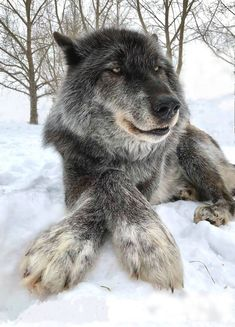 That's a great picture of a beautiful gray wolf Animals And Pets, Funny Animals, Cute Animals, Wild Animals, Baby Animals, Wolf Spirit, Spirit Animal, Beautiful Wolves, Animals Beautiful