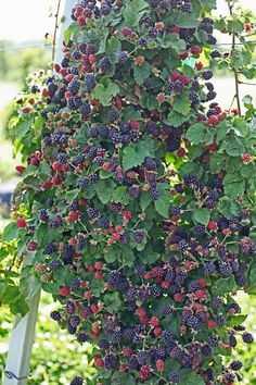 Growing Blackberries - Blackberries - Ideas of Blackberries - Blackberries are a delicious easy to grow fruit. They're easy to harvest have a high yield and require little work. Grow blackberries for home or sale. Backyard Vegetable Gardens, Vegetable Garden Design, Fruit Garden, Edible Garden, Garden Landscaping, Garden Plants, Landscaping Borders, Strawberry Garden, Tropical Garden