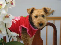 Masey - Welsh terrier, csbarks.org