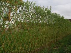 Willow woven hedging