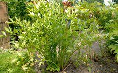 Liebstöckel (Pflanze)