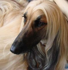 afghan hound   Afghan Hound Kennel Vechnost   Flickr - Photo Sharing!