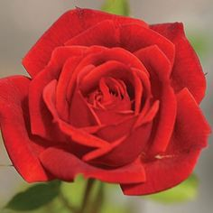 """Lovely, hybrid tea style blooms (petals of rich velvety red having a strong sweet/spice fragrance, produced on a vigorous continual blooming plant with rich green foliage. A must for those that grow """"Buck"""" roses. Kids Fairy Garden, Big Garden, Garden Care, Beautiful Rose Flowers, Beautiful Gardens, Indoor Garden Wedding Reception, Rose Hardy, Rose Garden Design, Aesthetic Roses"""