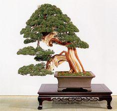 Shimpaku Juniper Bonsai by Keiichi Fujikawa
