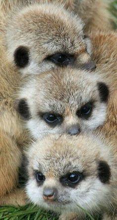 Love watching Meerkat Manor on Animal Planet. Cute Creatures, Beautiful Creatures, Animals Beautiful, Nature Animals, Animals And Pets, Wild Animals, Cute Baby Animals, Funny Animals, Tier Fotos