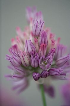 ~~ Allium heldreichii ~~