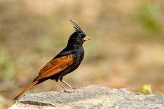 Crested Bunting by Sandeep Dutta on 500px