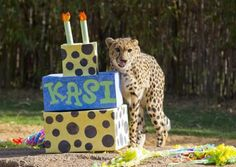 Kasi's 2nd Birthday: check out all the photos and a story by animal care specialist, Anna G. on our blog.