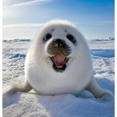 Wildlife photographer snaps a smiling seal pup   News.com.au ❤ liked on Polyvore featuring animals, backgrounds, fotos and pictures