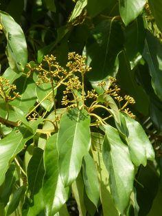 Persea caerulea (Ruiz & Pav.) Mez -Medellín- Colombia