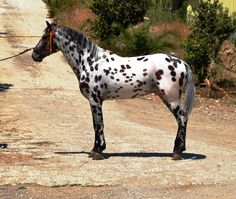 APPALOOSA - The Best Spanish Horses - Horses for Sale Direct from Spain - Andalusian/Appy