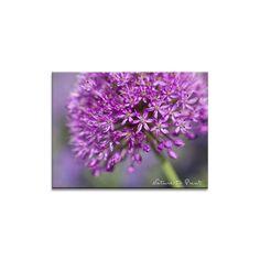 Kunstdruck Leinwandbild oder Fototapete lila Allium-Blüte