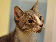 Killed at ACC- TO BE DESTROYED 10/19/14 ** During the intake, Jan seemed frightened of sudden movements, but once she became more comfortable, she was very affectionate and allowed handling. ** Brooklyn Center  My name is JAN. My Animal ID # is A1016978. I am a female gray tabby and white domestic sh mix. The shelter thinks I am about 2 YEARS  I came in the shelter as a STRAY on 10/09/2014 from NY 11213