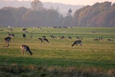 Dyrehaven - deer park north of Copenhagen