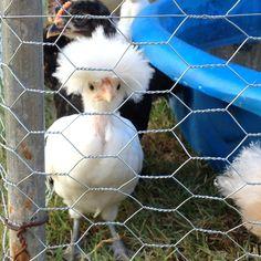 Sweet baby silkie chicken @Christie Moffatt Moffatt elkins.