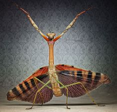 Photographer Igor Siwanowicz uses a macro lens to get up-close and personal with a host of weird and wonderful-looking wildlife in his latest work. He says he is on a mission to make people fall in love with these striking creatures, some of which he keeps as pets. Plistospilota Guineensis (Mega-mantis)