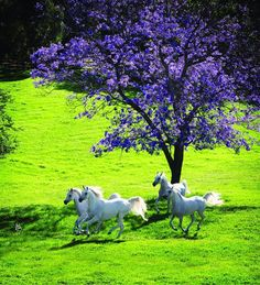 Arabian Horses by alyibnawi, running in the bright green meadow with purple flowerin trees in the background. Please also visit www.JustForYouPropheticArt.com for colorful, inspirational Prophetic art painting, prints and stories and like my Facebook Art Page at www.facebook.com/Propheticartjustforyou Thank you so much! Blessings!