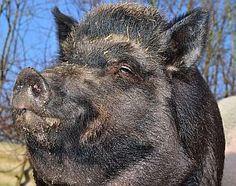 Krafttiere: Das Schwein - Bedeutung und Symbolik    #tiere #wissen