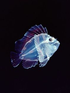 Larval Leaf Scorpion fish. Lacking any other defense, many larval fish have adapted transparency as a method of camouflage—such as this tiny, see-through larval leaf scorpionfish in Hawaii.