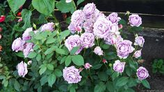 Poseidon - 'Novalis ' Rose Photo