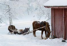 Rekiretkeä odottamassa - hevonen suomenhevonen kylmäverinen reki valjastettu talja taljat syödä heinää heinät heinä kylmä lumi luminen lumiset puu puut punainen rakennus talvi pakkanen joulukuu Puijo Kuopio History Of Finland, Koti, Good Times, Childhood, Horses, Seasons, Retro, Winter, Nature
