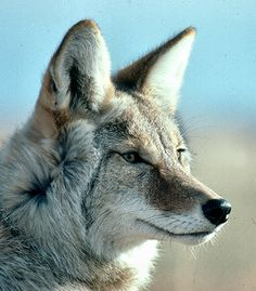 coyote coyote coyote