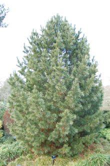 suuri Pinus kuvia