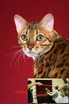 Bengal cat Induna
