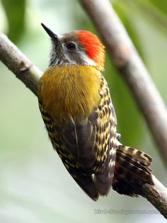 Gold-mantled Woodpecker (Dendropicos abyssinicus)