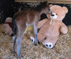 An orphaned foal has adopted a teddy bear to keep him company. Staff and the Mare and Foal Sanctuary, Devon, appealed for a giant teddy after rescuing a newborn Dartmoor Hill pony that had lost his mother, and were inundated with cuddly toys. #loveit